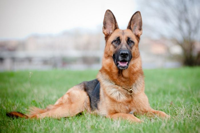 Le 5 migliori razze di cani taglia grande