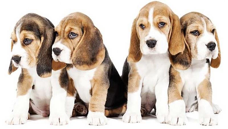 Razze di cani taglia media quali sono le pi famose for Cani da tenere in casa