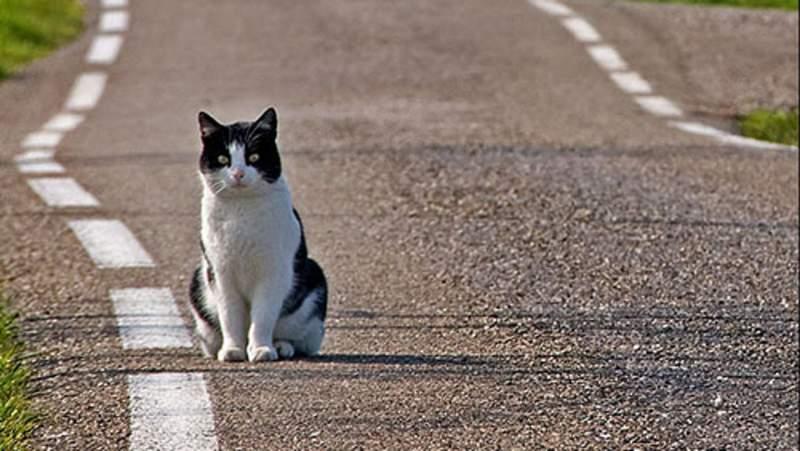 I feromoni del gatto, cosa sono e a che servono